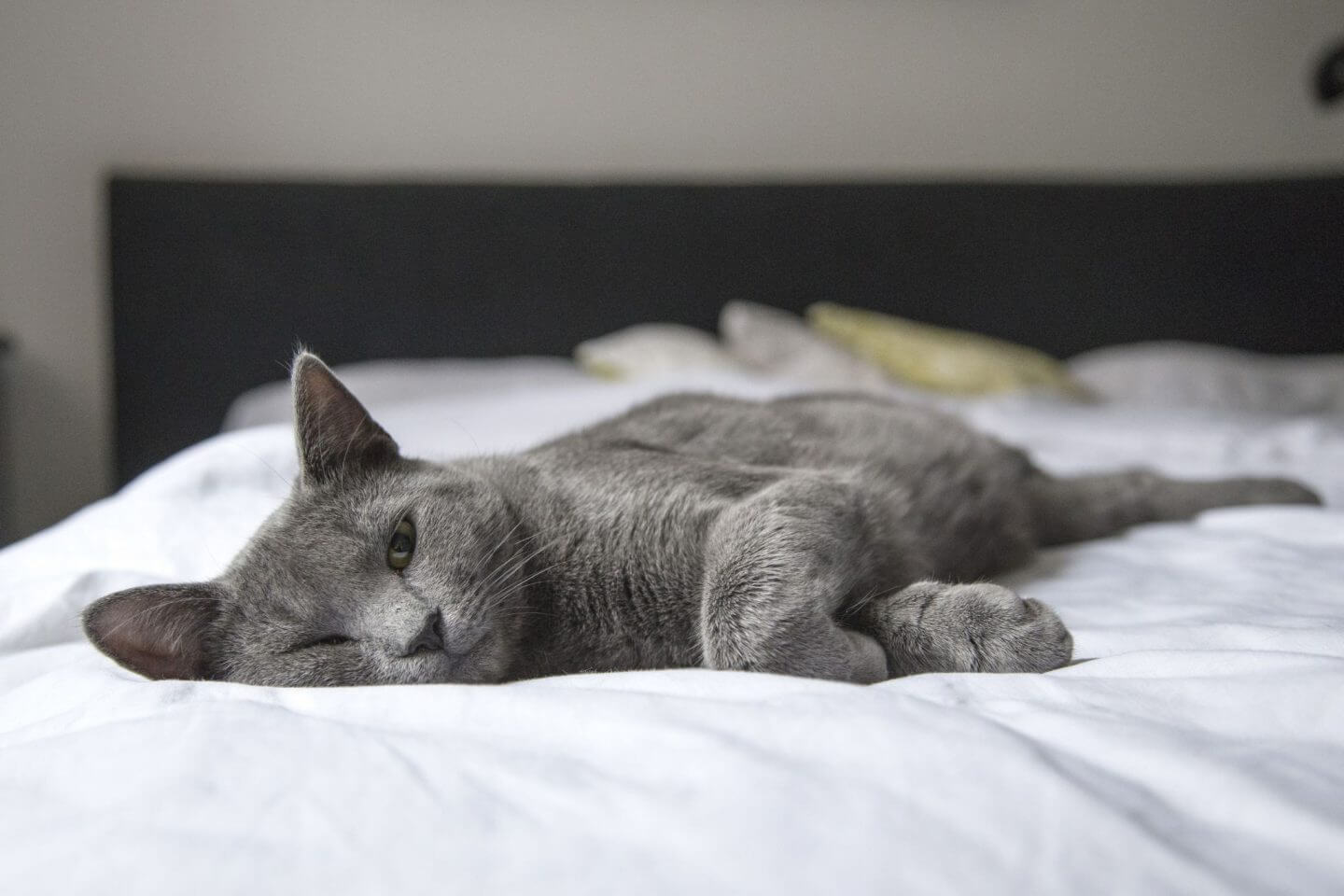 Picture of grey cat stretching on white bedsheets