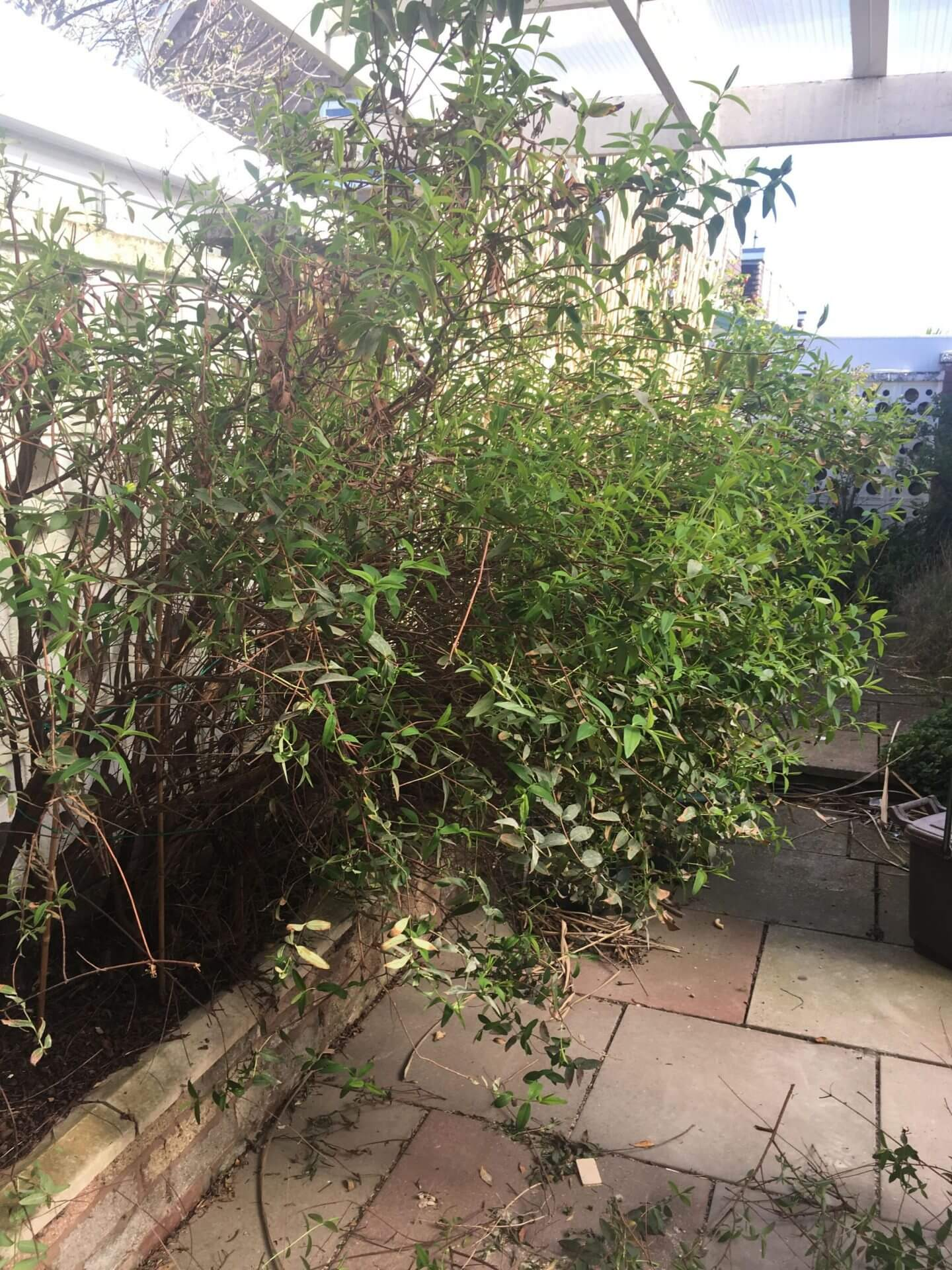 Overgrown bush cutting into patio space