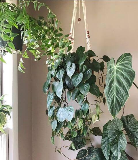 Heartleaf-Philodendron, der in einem Schnurtopf von der Decke hängt
