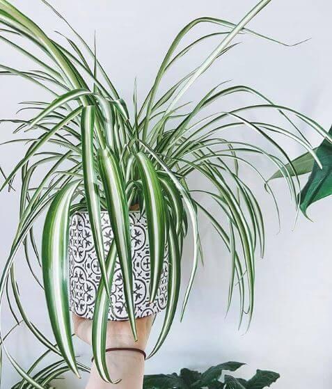 Spinnenpflanze in einem wunderschönen gemusterten Keramiktopf